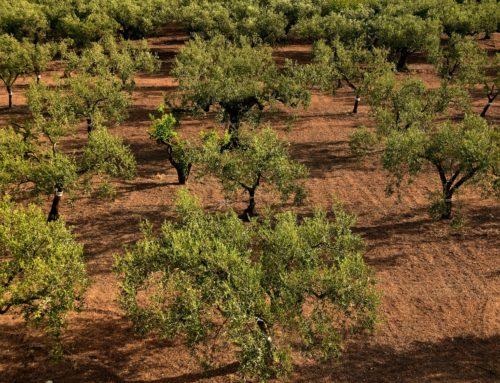 Un proyecto pionero en Europa para la aplicación de aguas regeneradas en el olivar